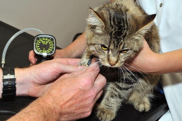 Ook uw kat kan een te hoge bloeddruk hebben!